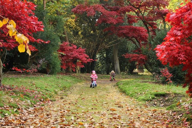Japanse Laantje in herfstkleur 750