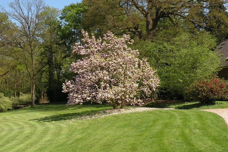 Magnolia in bloei 750