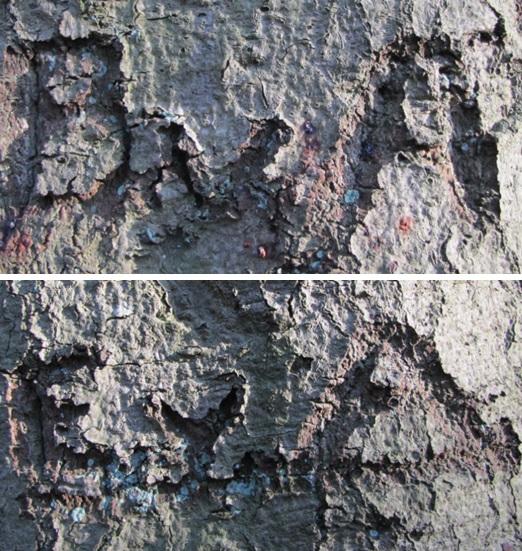 Inkervingen beuk Tolboom