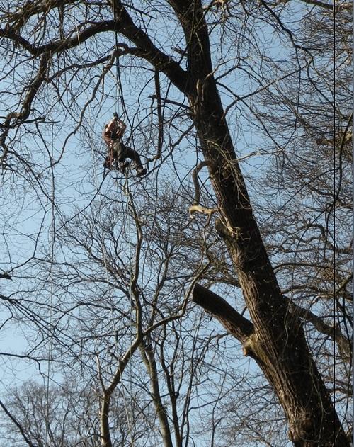 tamme-kastanjeboom-acrobatisch-500