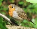 vogelexcursie-roodborstje-130