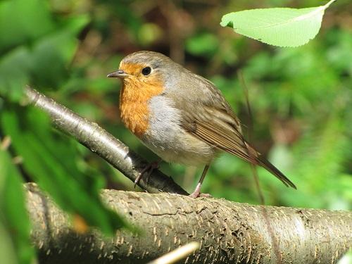 vogelexcursie-roodborstje-500