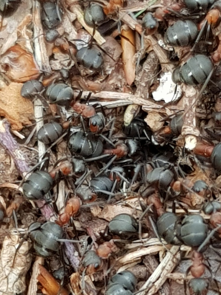 Onderzoeksresultaten bosmier op Eyckenstein